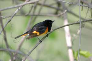 American Redstart by Dick Stilwell